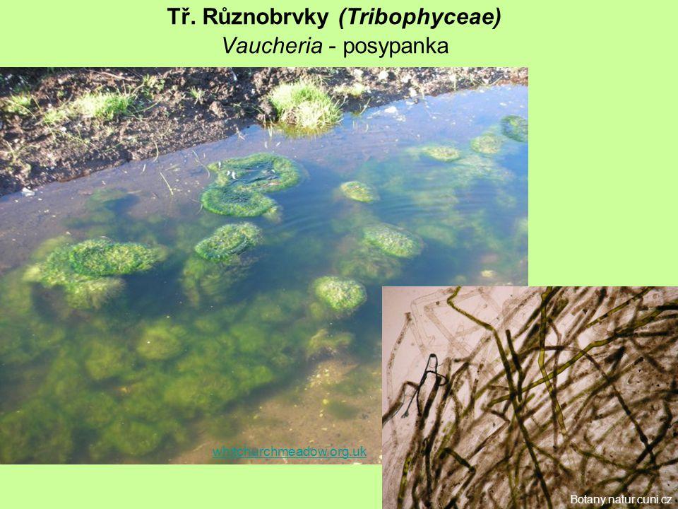 Tř. Různobrvky (Tribophyceae) Vaucheria - posypanka whitchurchmeadow.org.uk Botany.natur.cuni.cz