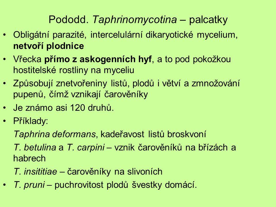 Pododd. Taphrinomycotina – palcatky Obligátní parazité, intercelulární dikaryotické mycelium, netvoří plodnice Vřecka přímo z askogenních hyf, a to po