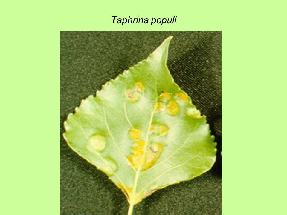 Taphrina populi