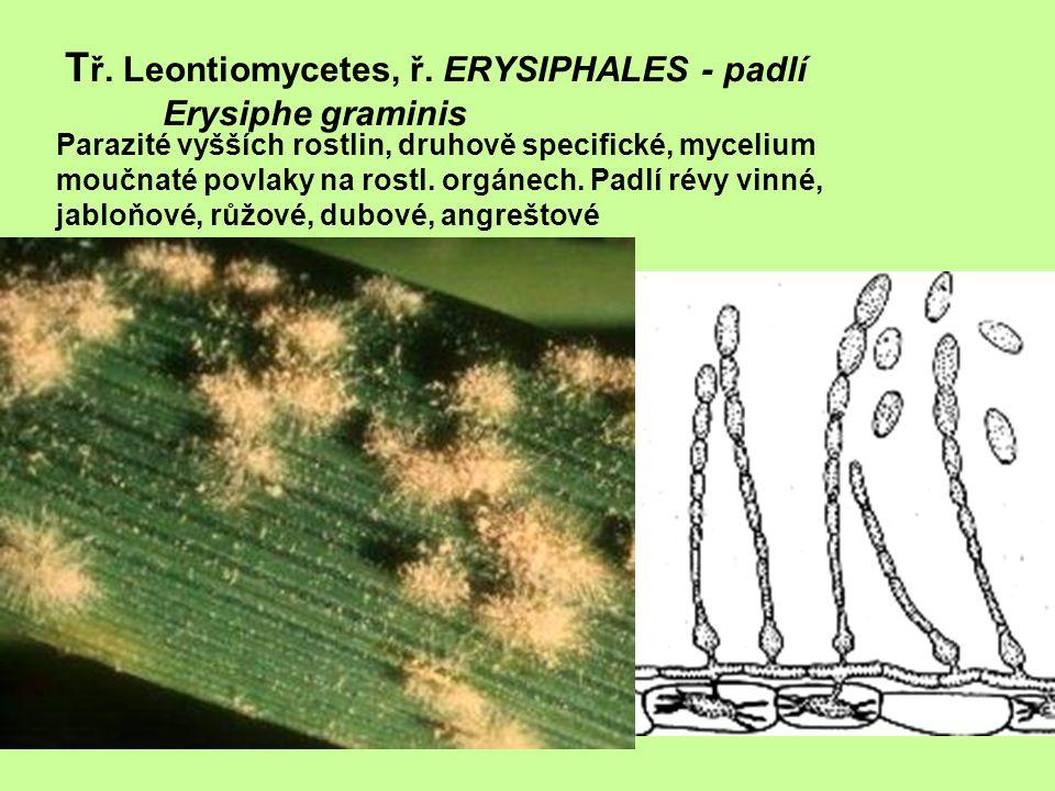 T ř. Leontiomycetes, ř. ERYSIPHALES - padlí Erysiphe graminis Parazité vyšších rostlin, druhově specifické, mycelium moučnaté povlaky na rostl. orgáne
