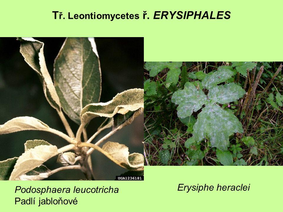 T ř. Leontiomycetes ř. ERYSIPHALES Podosphaera leucotricha Padlí jabloňové Erysiphe heraclei