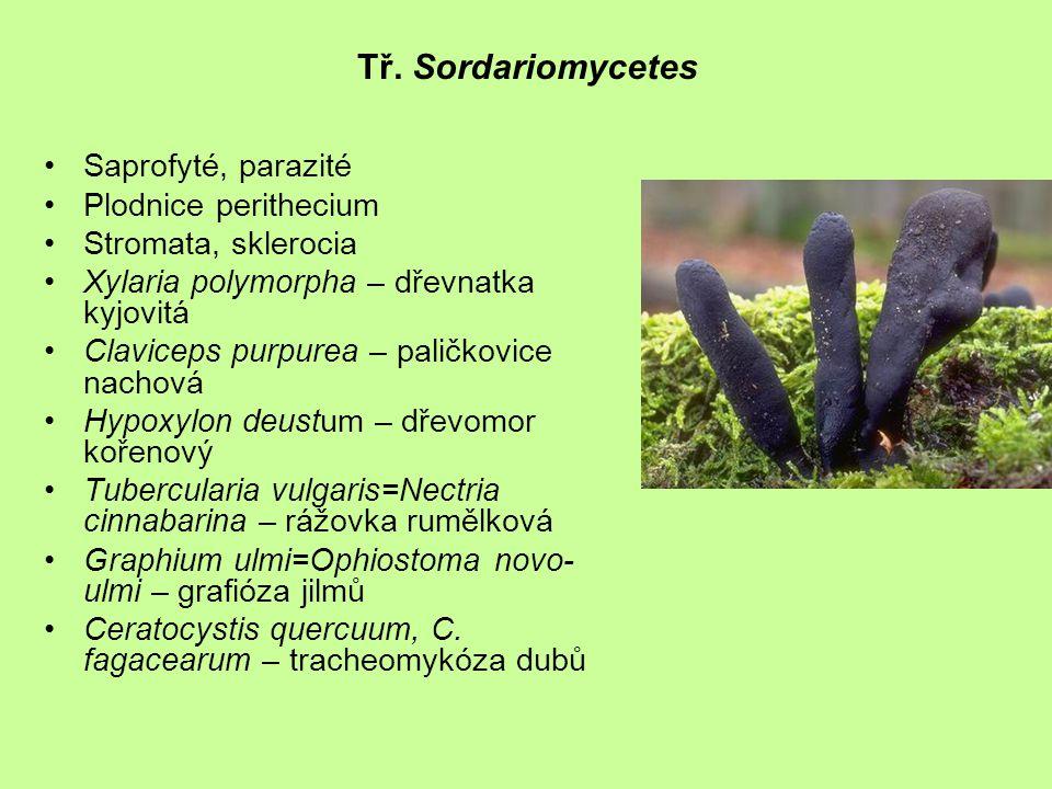 Tř. Sordariomycetes Saprofyté, parazité Plodnice perithecium Stromata, sklerocia Xylaria polymorpha – dřevnatka kyjovitá Claviceps purpurea – paličkov