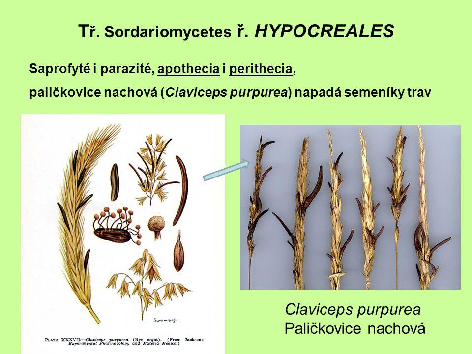 T ř. Sordariomycetes ř. HYPOCREALES Claviceps purpurea Paličkovice nachová Saprofyté i parazité, apothecia i perithecia, paličkovice nachová (Clavicep