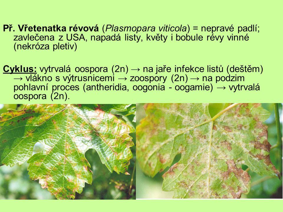 Př. Vřetenatka révová (Plasmopara viticola) = nepravé padlí; zavlečena z USA, napadá listy, květy i bobule révy vinné (nekróza pletiv) Cyklus: vytrval