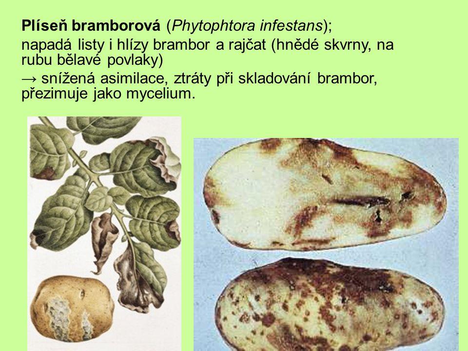 Plíseň bramborová (Phytophtora infestans); napadá listy i hlízy brambor a rajčat (hnědé skvrny, na rubu bělavé povlaky) → snížená asimilace, ztráty při skladování brambor, přezimuje jako mycelium.