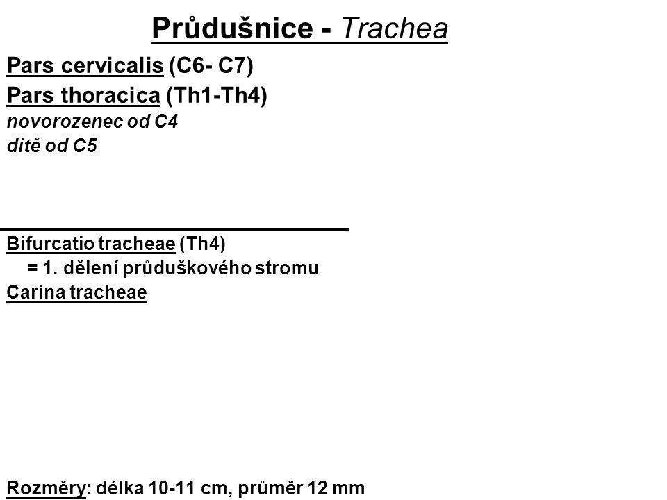 Průdušnice - Trachea Pars cervicalis (C6- C7) Pars thoracica (Th1-Th4) novorozenec od C4 dítě od C5 Bifurcatio tracheae (Th4) = 1. dělení průduškového