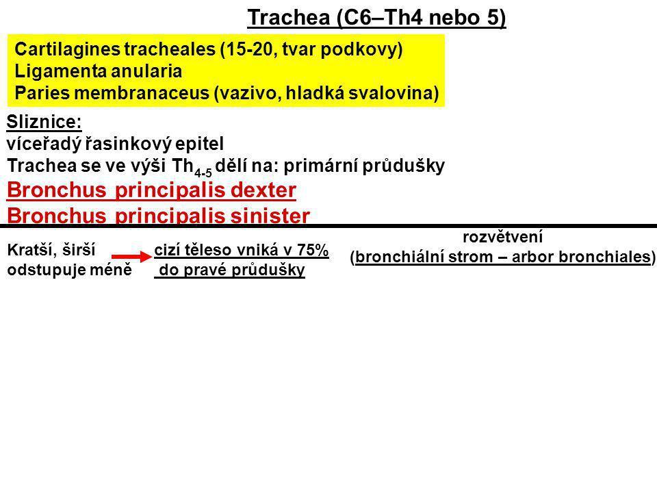 Sliznice: víceřadý řasinkový epitel Trachea se ve výši Th 4-5 dělí na: primární průdušky Bronchus principalis dexter Bronchus principalis sinister Tra