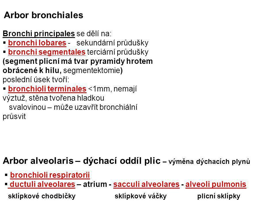Bronchi principales se dělí na:  bronchi lobares - sekundární průdušky  bronchi segmentales terciární průdušky (segment plicní má tvar pyramidy hrot