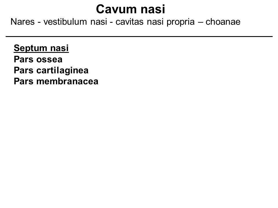 Septum nasi Pars ossea Pars cartilaginea Pars membranacea Cavum nasi Nares - vestibulum nasi - cavitas nasi propria – choanae