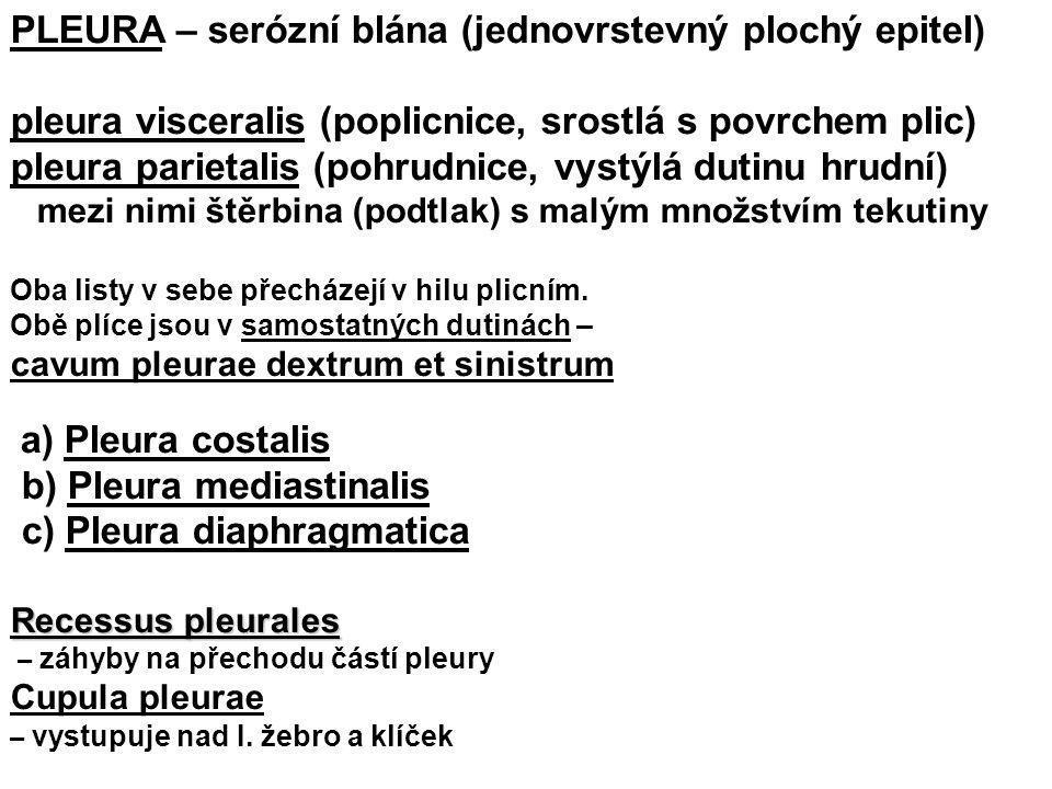 PLEURA – serózní blána (jednovrstevný plochý epitel) pleura visceralis (poplicnice, srostlá s povrchem plic) pleura parietalis (pohrudnice, vystýlá du