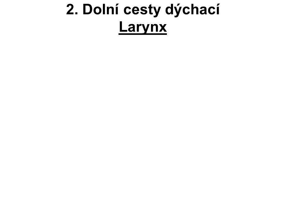 Cart.thyroidea (laminae, cornua, linea obliqua) Cart.