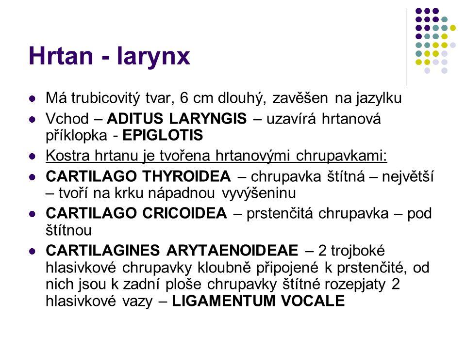 Hrtan - larynx Má trubicovitý tvar, 6 cm dlouhý, zavěšen na jazylku Vchod – ADITUS LARYNGIS – uzavírá hrtanová příklopka - EPIGLOTIS Kostra hrtanu je