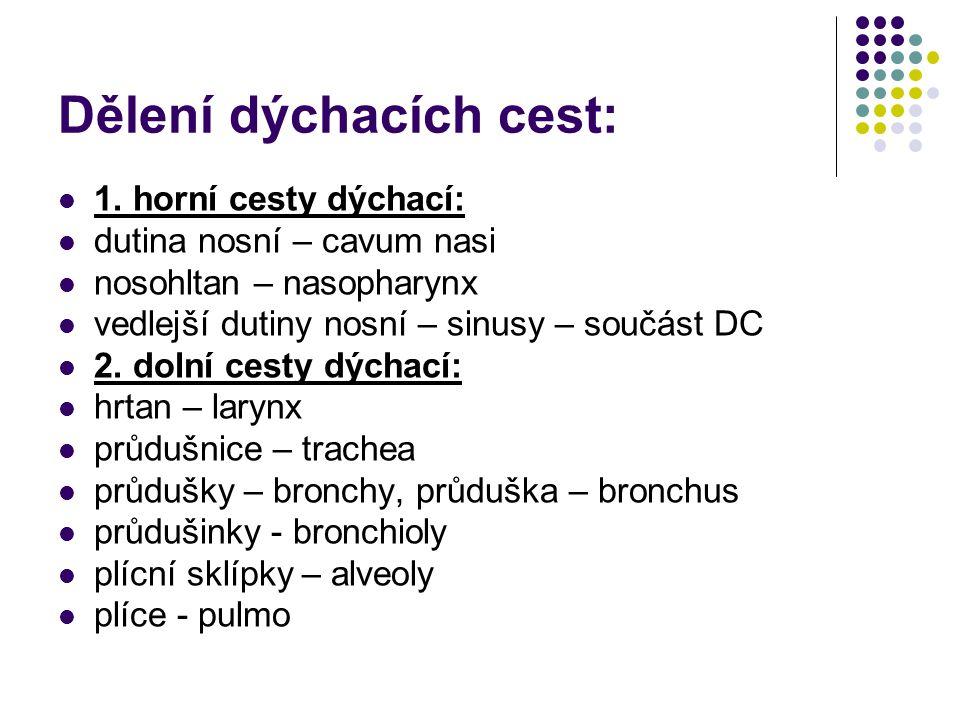 Dělení dýchacích cest: 1. horní cesty dýchací: dutina nosní – cavum nasi nosohltan – nasopharynx vedlejší dutiny nosní – sinusy – součást DC 2. dolní