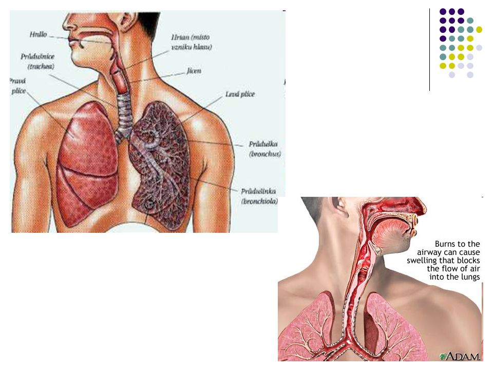Hrtan - larynx Chrupavky jsou spojeny drobnými klouby Pohyb je umožněn 3 skupinami svalů – mm.LARYNGIS – napínání, povolování, přibližování a oddalování hlasových vazů – vznik tónů Řeč – je možná pouze za součinnosti s mluvidly – měkké patro, dásně, zuby, jazyk, rty a rezonanční dutiny KONIOTOMIE – protnutí vaziva mezi cartilago thyroidea a cricoidea Podslizniční vazivo je řídké – snadné šíření zánětu a otok
