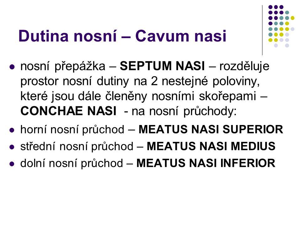 Dutina nosní – Cavum nasi nosní přepážka – SEPTUM NASI – rozděluje prostor nosní dutiny na 2 nestejné poloviny, které jsou dále členěny nosními skořep