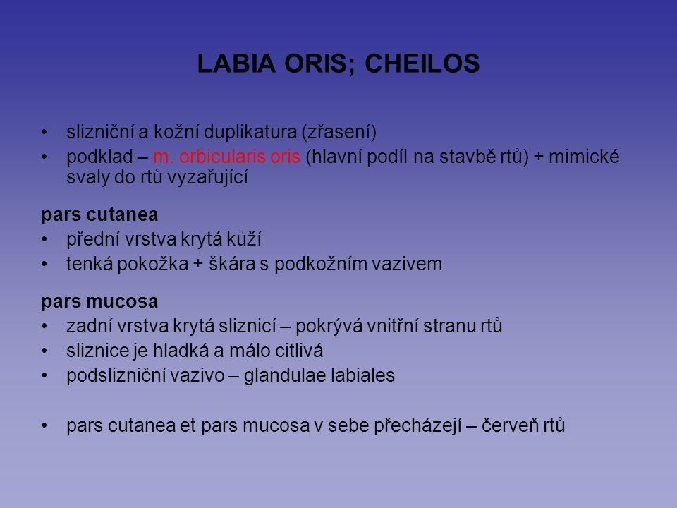 LABIA ORIS; CHEILOS slizniční a kožní duplikatura (zřasení) podklad – m. orbicularis oris (hlavní podíl na stavbě rtů) + mimické svaly do rtů vyzařují