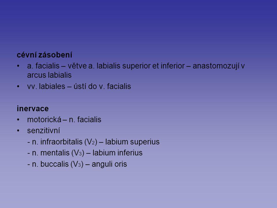 cévní zásobení a. facialis – větve a. labialis superior et inferior – anastomozují v arcus labialis vv. labiales – ústí do v. facialis inervace motori