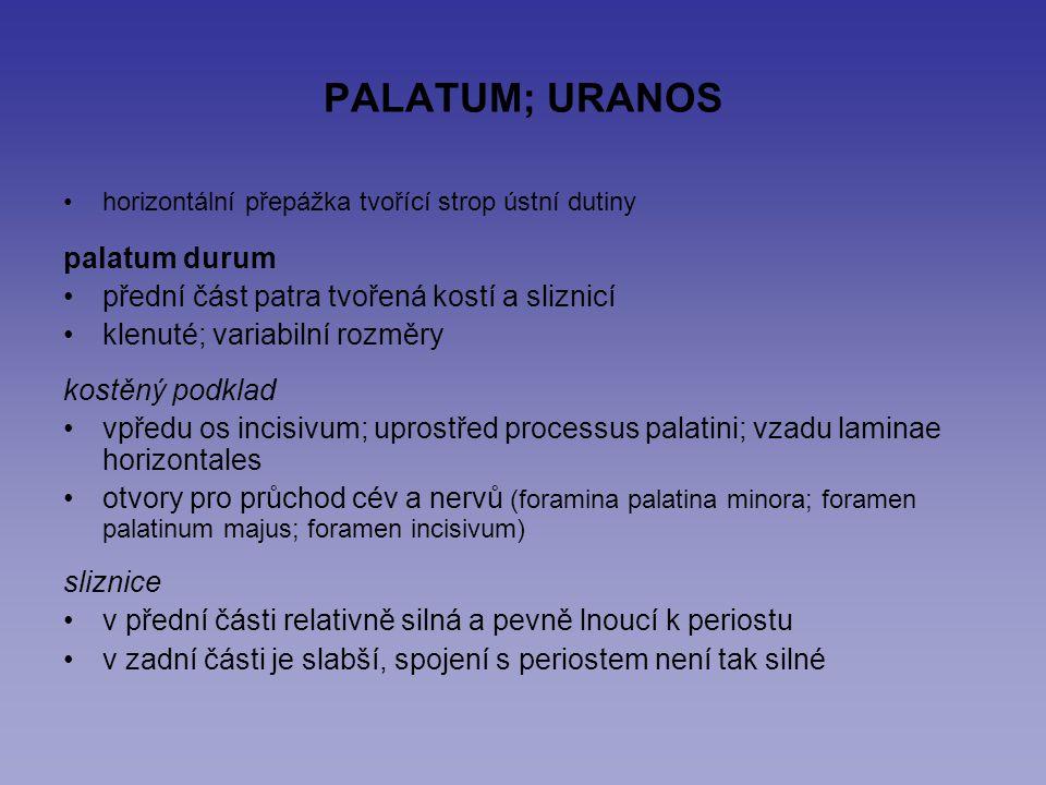 PALATUM; URANOS horizontální přepážka tvořící strop ústní dutiny palatum durum přední část patra tvořená kostí a sliznicí klenuté; variabilní rozměry