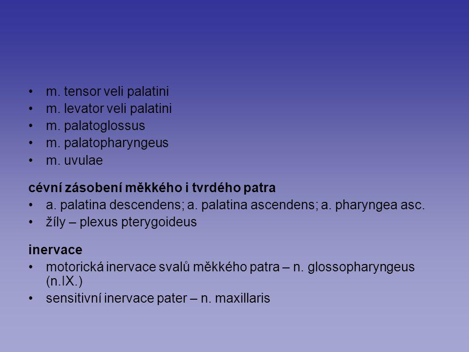 m. tensor veli palatini m. levator veli palatini m. palatoglossus m. palatopharyngeus m. uvulae cévní zásobení měkkého i tvrdého patra a. palatina des