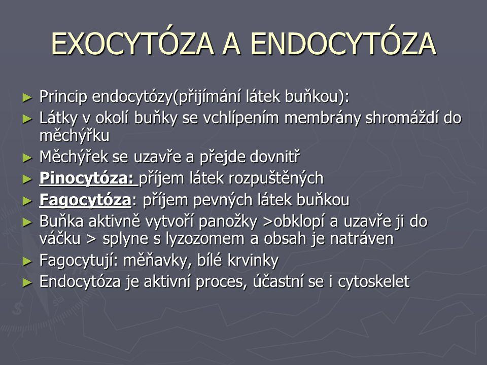 EXOCYTÓZA A ENDOCYTÓZA ► Princip endocytózy(přijímání látek buňkou): ► Látky v okolí buňky se vchlípením membrány shromáždí do měchýřku ► Měchýřek se uzavře a přejde dovnitř ► Pinocytóza: příjem látek rozpuštěných ► Fagocytóza: příjem pevných látek buňkou ► Buňka aktivně vytvoří panožky >obklopí a uzavře ji do váčku > splyne s lyzozomem a obsah je natráven ► Fagocytují: měňavky, bílé krvinky ► Endocytóza je aktivní proces, účastní se i cytoskelet