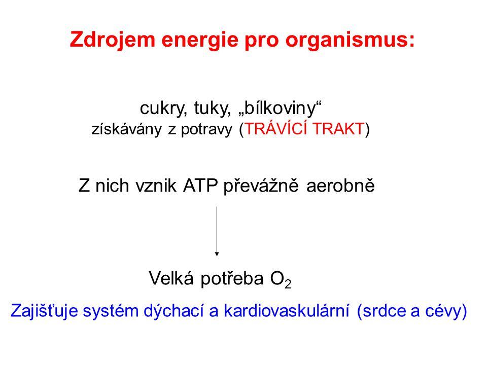 """Zdrojem energie pro organismus: cukry, tuky, """"bílkoviny získávány z potravy (TRÁVÍCÍ TRAKT) Z nich vznik ATP převážně aerobně Velká potřeba O 2 Zajišťuje systém dýchací a kardiovaskulární (srdce a cévy)"""