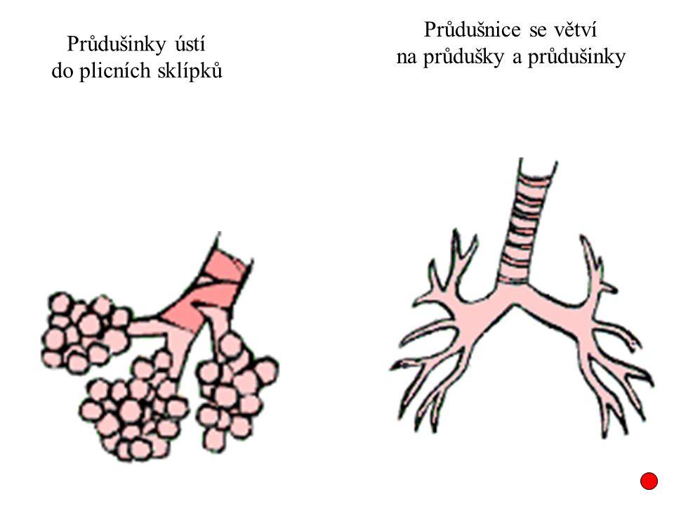 Průdušnice se větví na průdušky a průdušinky Průdušinky ústí do plicních sklípků