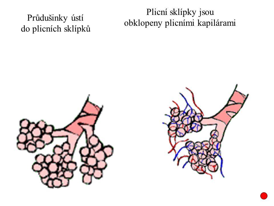 Plicní sklípky jsou obklopeny plicními kapilárami Průdušinky ústí do plicních sklípků