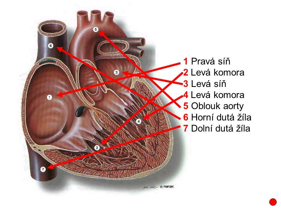 1 Pravá síň 2 Levá komora 3 Levá síň 4 Levá komora 5 Oblouk aorty 6 Horní dutá žíla 7 Dolní dutá žíla