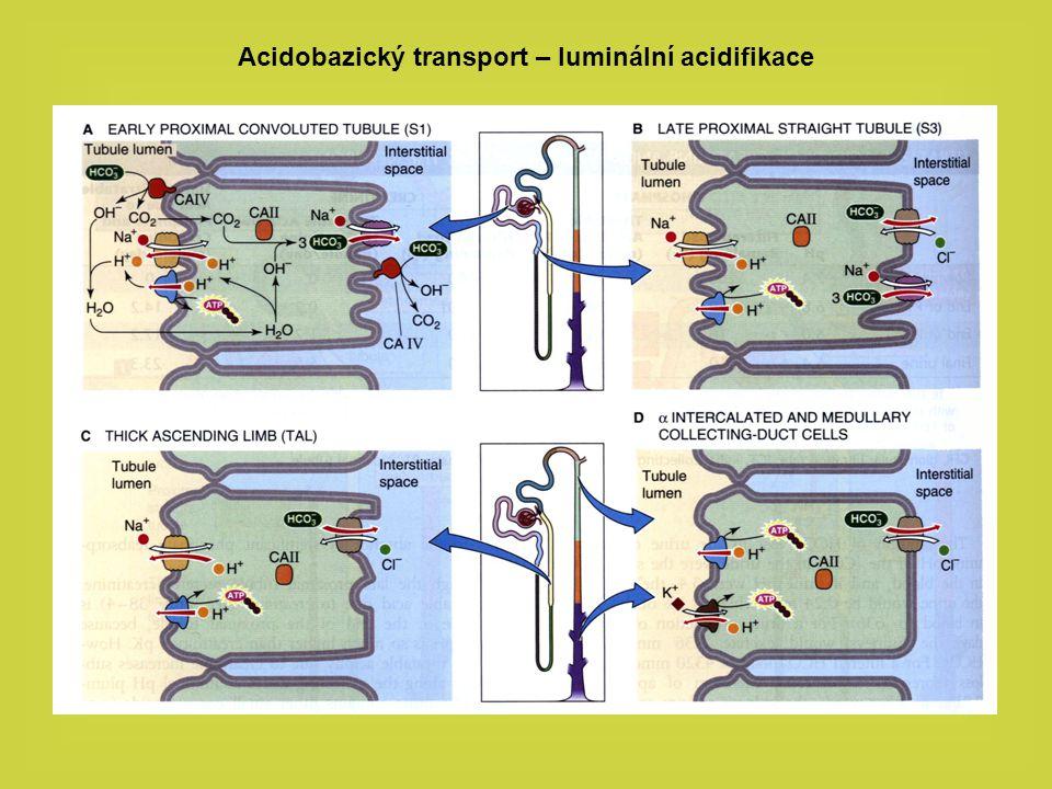 Acidobazický transport – luminální acidifikace