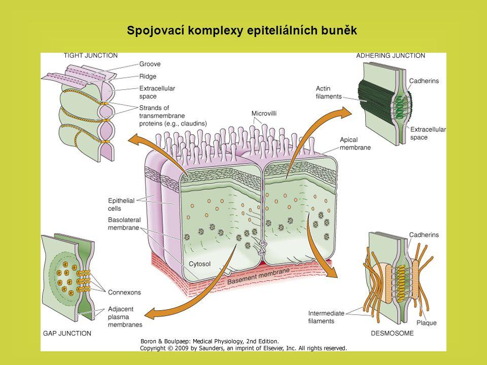Interakce epiteliální buňky s bazální membránou Základní složky bazální membrány a jejich vzájemná interakce Epiteliální buňka je připojena k bazální membráně pomocí integrinů (heterodimérní receptory)