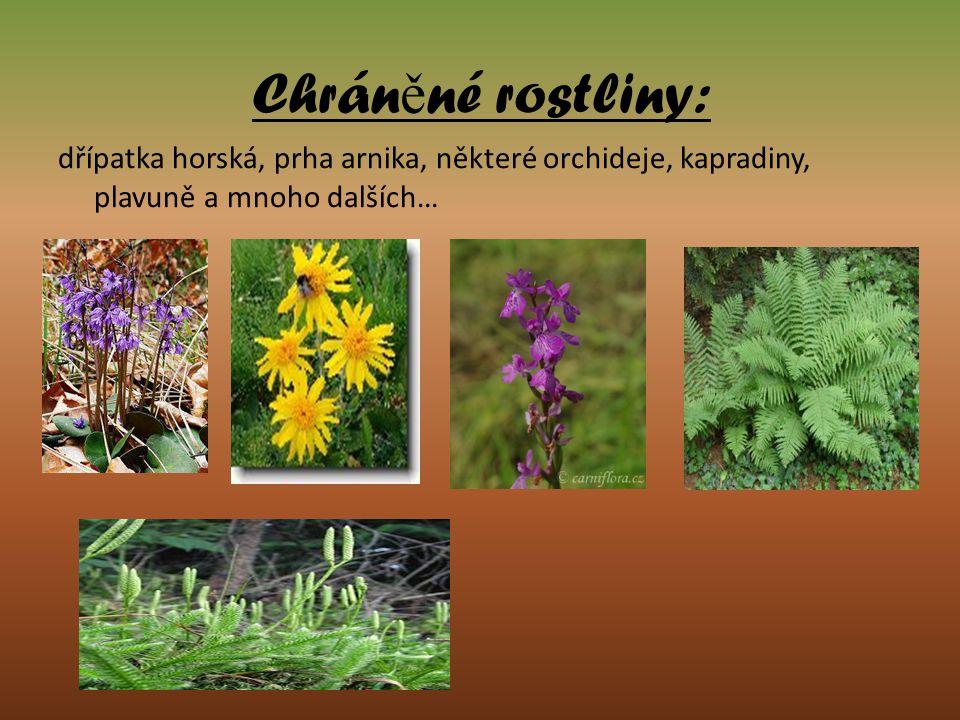 Chrán ě né rostliny: dřípatka horská, prha arnika, některé orchideje, kapradiny, plavuně a mnoho dalších…