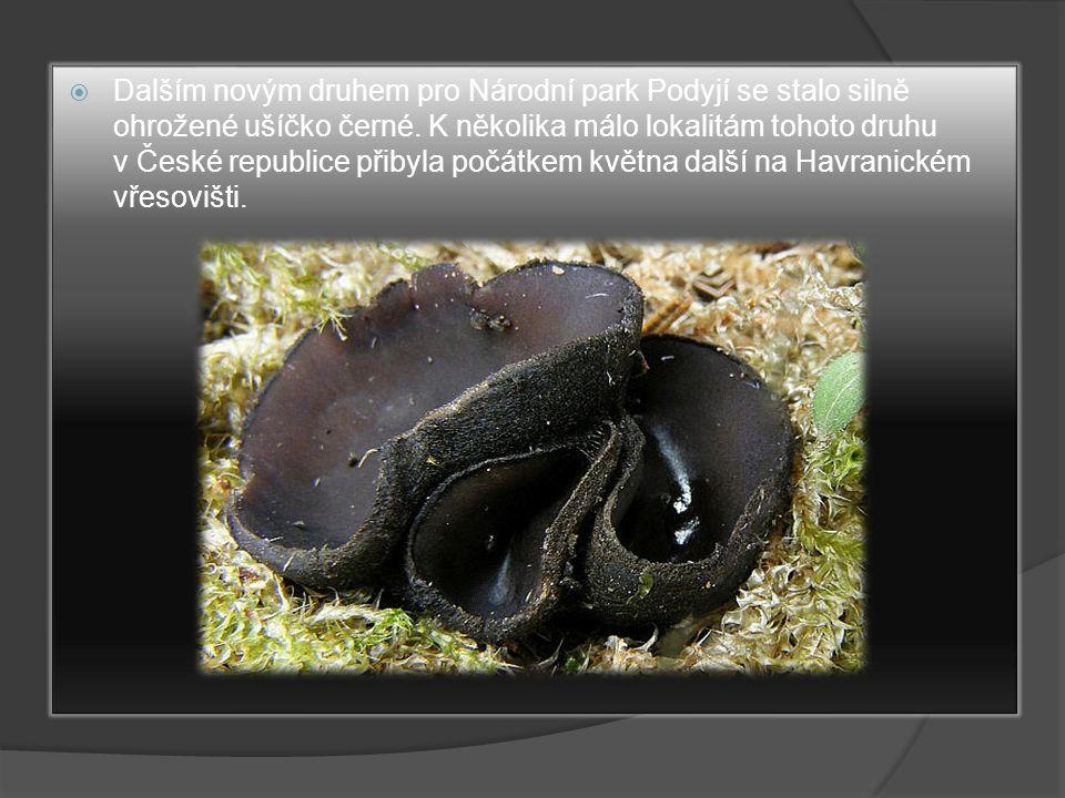  Dalším novým druhem pro Národní park Podyjí se stalo silně ohrožené ušíčko černé. K několika málo lokalitám tohoto druhu v České republice přibyla p