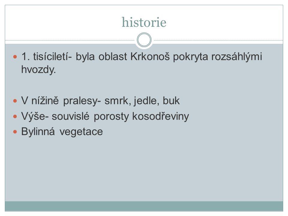 historie 1. tisíciletí- byla oblast Krkonoš pokryta rozsáhlými hvozdy. V nížině pralesy- smrk, jedle, buk Výše- souvislé porosty kosodřeviny Bylinná v