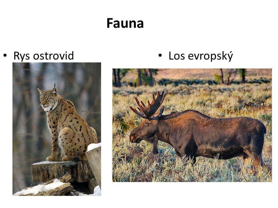 Fauna Rys ostrovid Los evropský