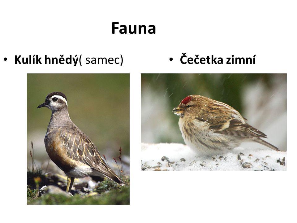 Fauna Kulík hnědý( samec) Čečetka zimní