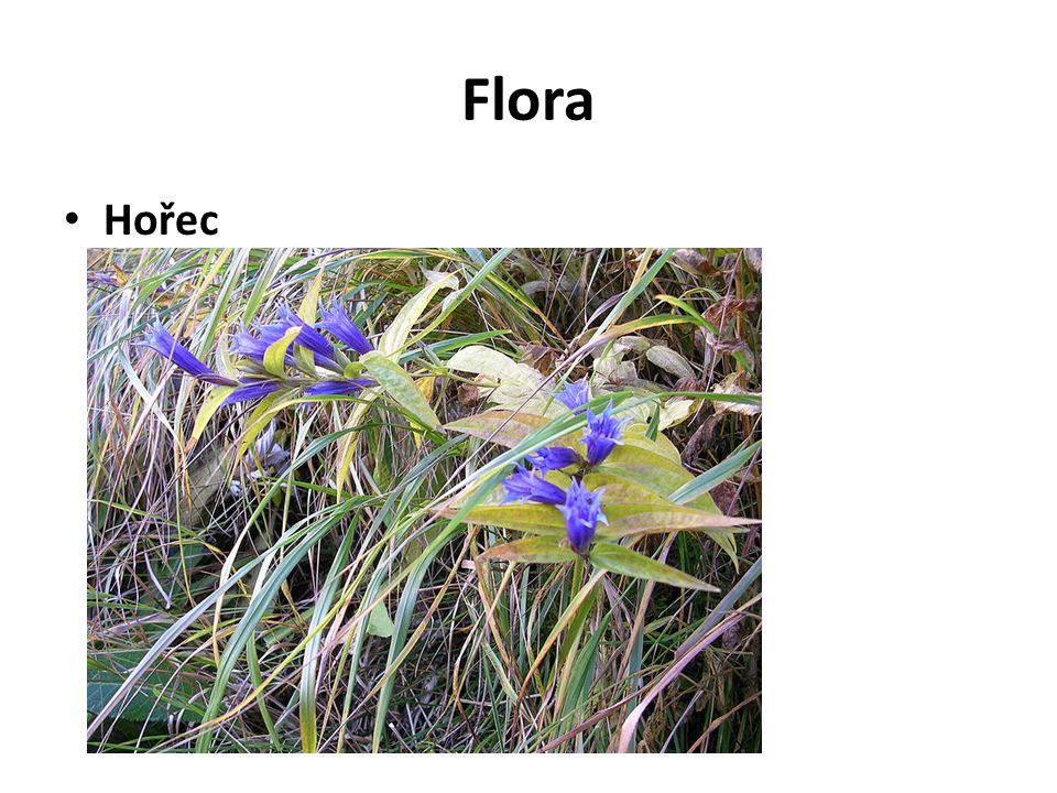 Flora Hořec