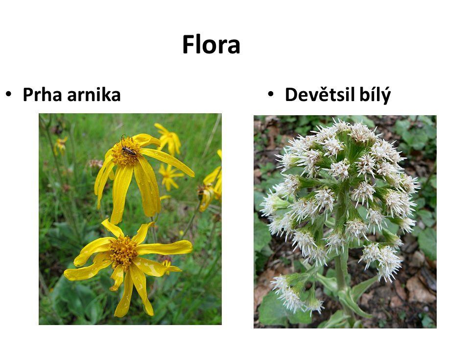 Flora Prha arnika Devětsil bílý