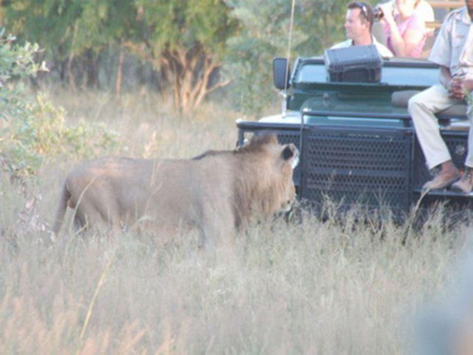 Křovinatá buš se v místech, kde se vyskytují větší sloní stáda, mění v poušť, která jiné býložravce neuživí.