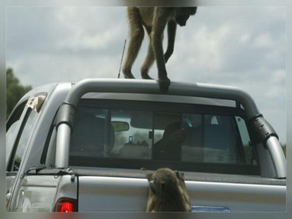 Nejhojnější jsou antilopy impaly, kterých zde žije asi 120 000.