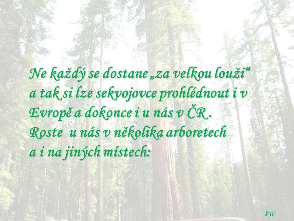 """J@ Ne každý se dostane """"za velkou louži a tak si lze sekvojovce prohlédnout i v Evropě a dokonce i u nás v ČR."""