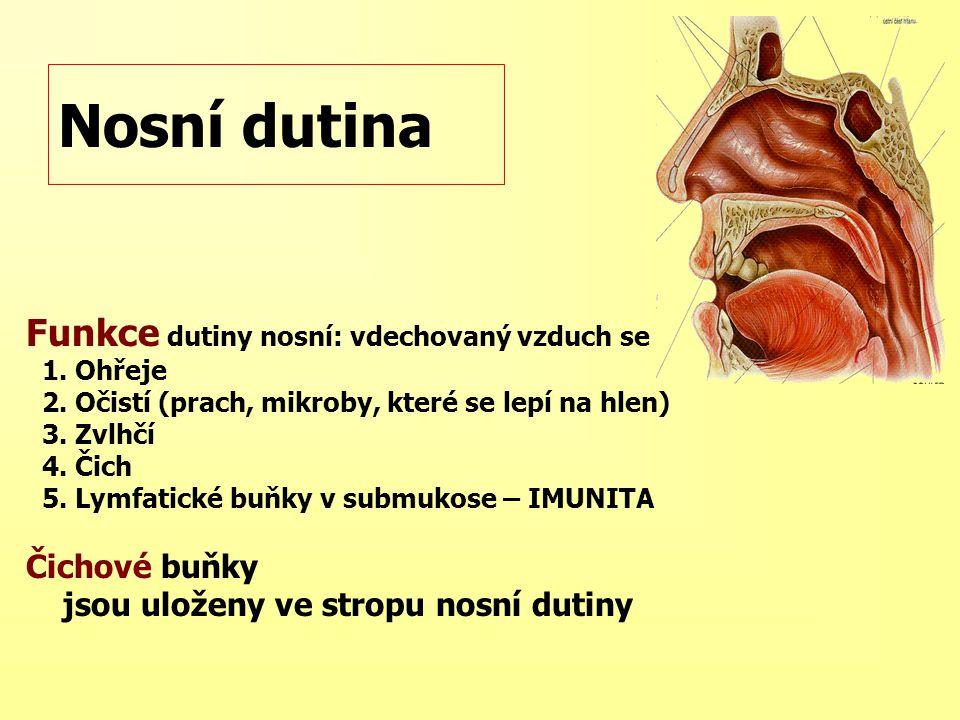 Nosní dutina Funkce dutiny nosní: vdechovaný vzduch se 1. Ohřeje 2. Očistí (prach, mikroby, které se lepí na hlen) 3. Zvlhčí 4. Čich 5. Lymfatické buň
