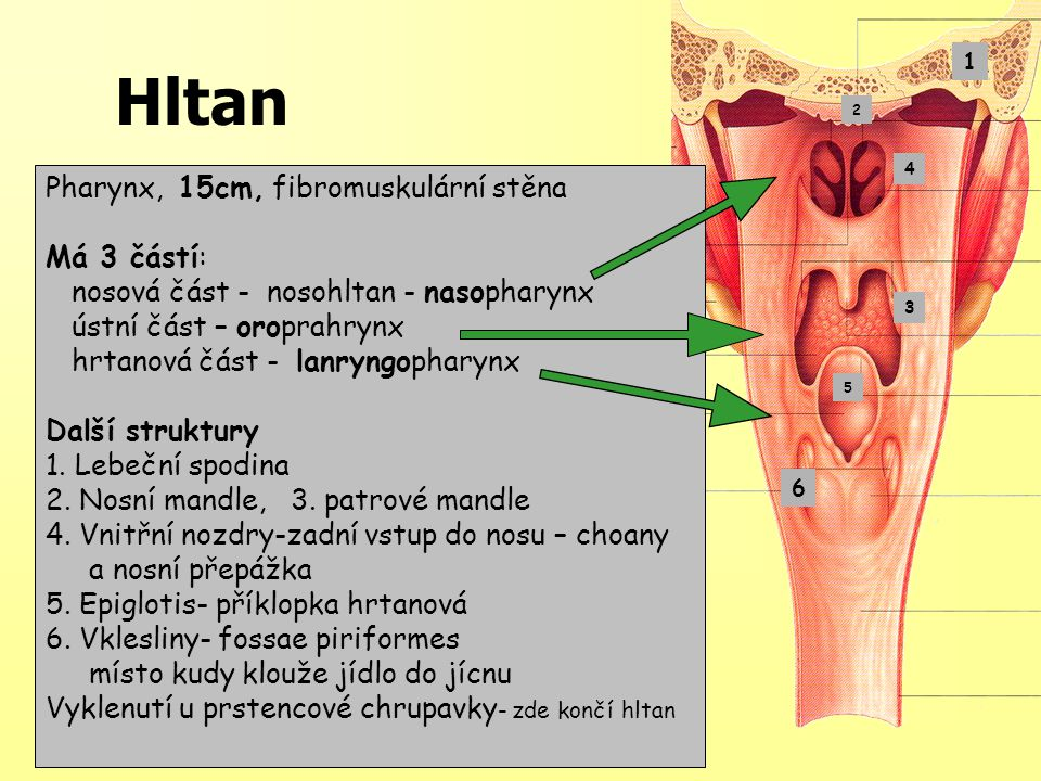 Pharynx, 15cm, fibromuskulární stěna Má 3 částí: nosová část - nosohltan - nasopharynx ústní část – oroprahrynx hrtanová část - lanryngopharynx Další