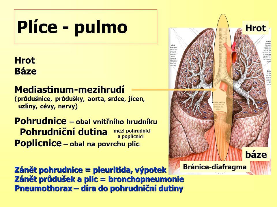 Plíce - pulmo HrotBázeMediastinum-mezihrudí (průdušnice, průdušky, aorta, srdce, jícen, uzliny, cévy, nervy) uzliny, cévy, nervy) Pohrudnice – obal vn