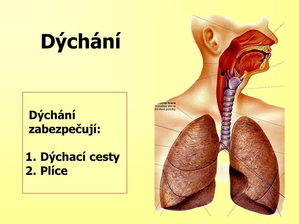 Dýchání zabezpečují: 1.Dýchací cesty 2.Plíce Dýchání