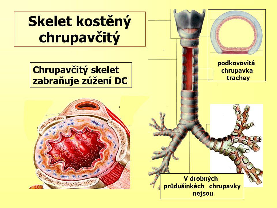 Chrupavčitý skelet zabraňuje zúžení DC Skelet kostěný chrupavčitý podkovovitá chrupavka trachey V drobných průdušinkách chrupavky nejsou