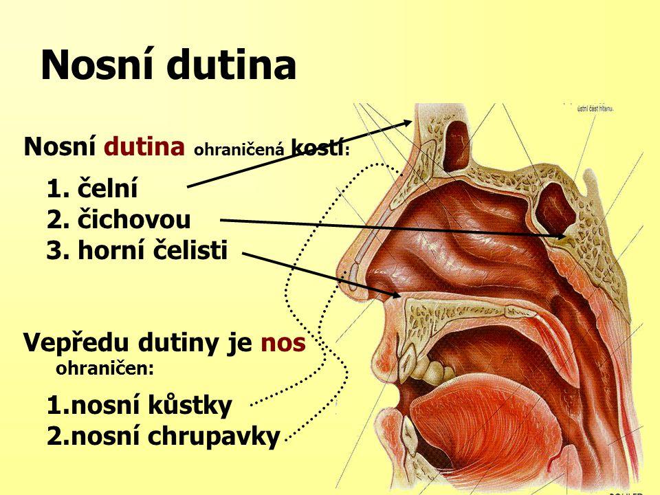 Nosní dutina Nosní přepážka – septum nasi Horizontální rozdělení nosní dutiny zabezpečí 2 skořepy (conchae) vznikají 3 nosní průduchy horní, střední, dolní Vedlejší dutiny nosní – paranasální = sinus paranasales čelistní = sinus maxillaris čelní = sinus frontalis čichové = s.ethmoidalis klínové = s.sphenoidalis (sinusitis maxillaris, sinusitis frontalis….latinské názvy) Vzadu pokračuje nos do nosohltanu dvěma otvory = choany