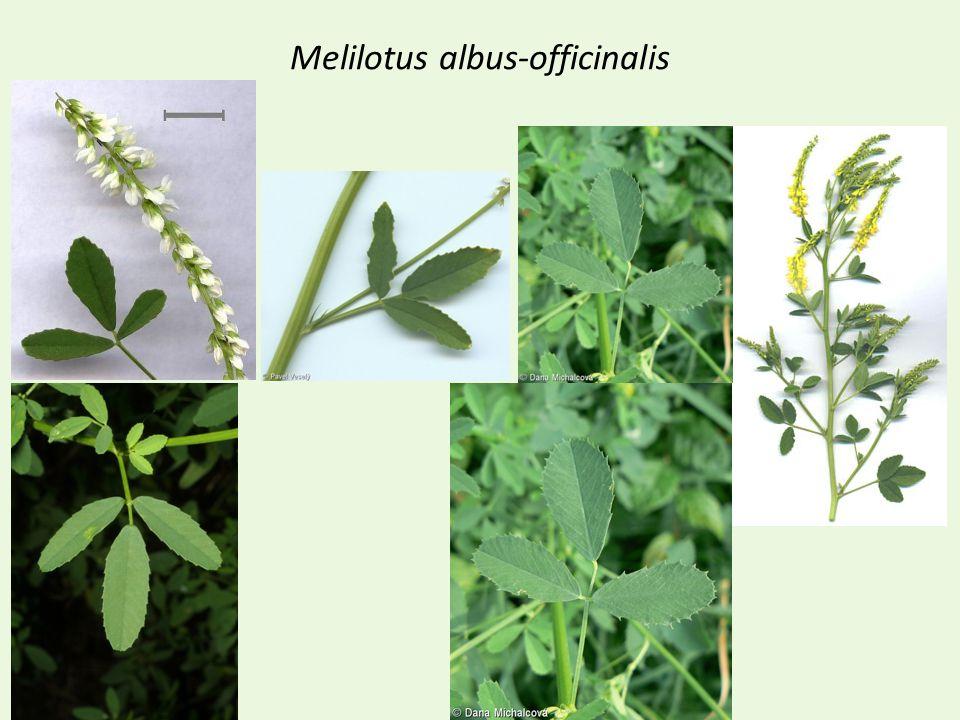 Melilotus albus-officinalis