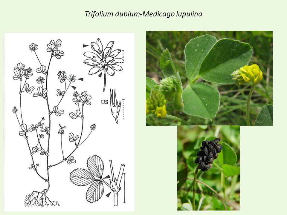Trifolium dubium-Medicago lupulina