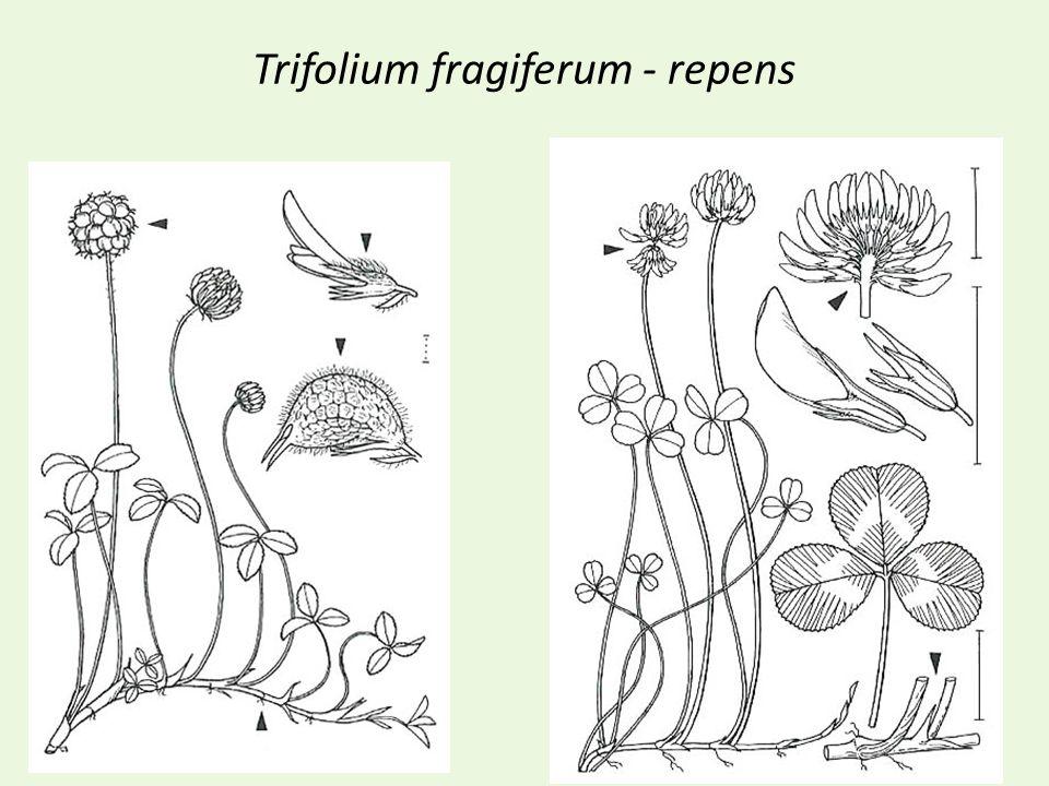 Trifolium fragiferum - repens