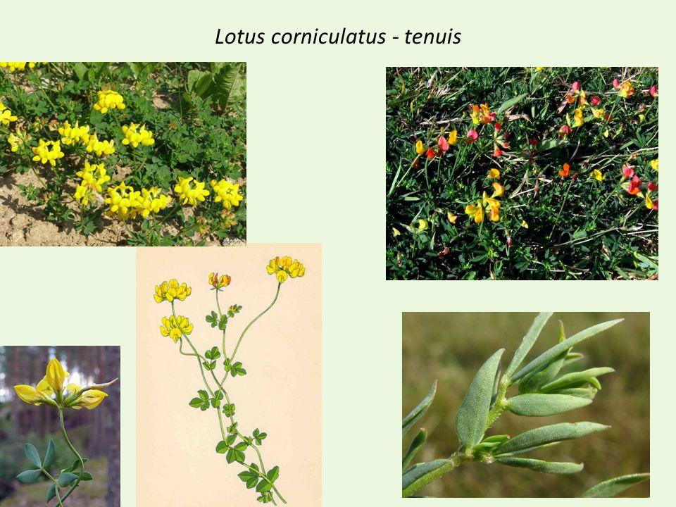 Lotus corniculatus - tenuis
